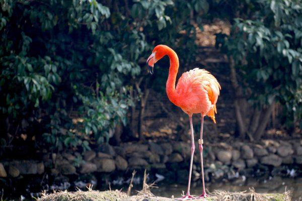 różowy flamingo na tle wody